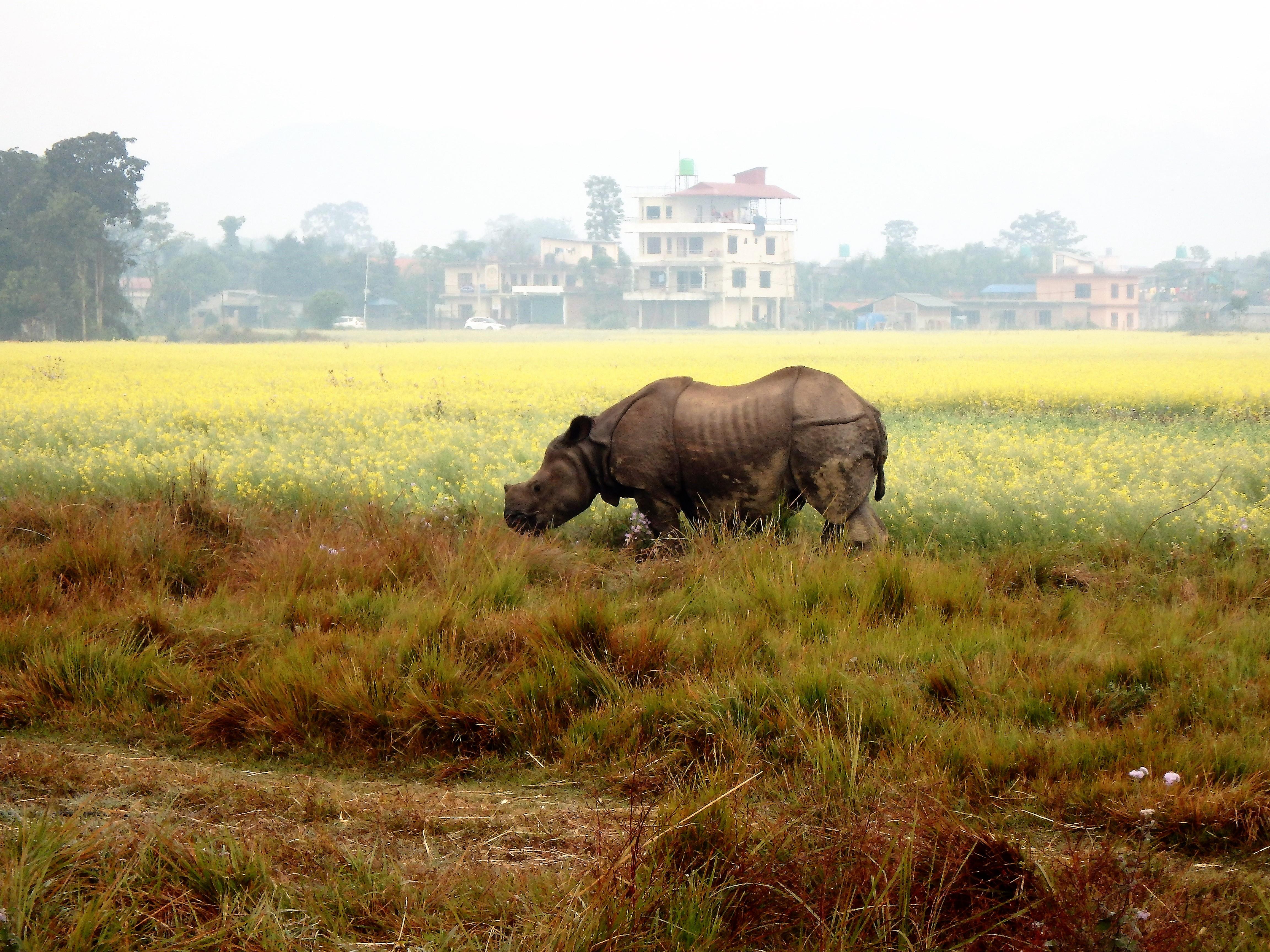 Rhino Sauraha Nepal.JPG